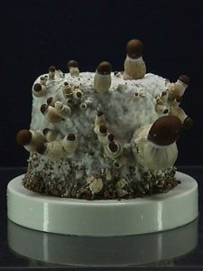 کشت قارچ به روش BRF