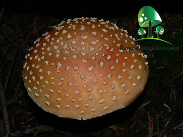 قارچ آمانیتا موسکاریا