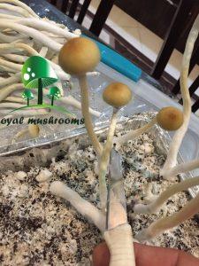 خشک کردن قارچ سیلوسایبین
