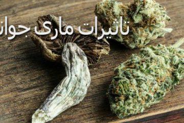 تاثیر ماریجوانا بر شدت سفر قارچ